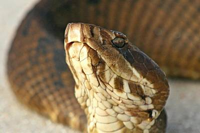 Photograph - Water Moccasin by Ira Runyan