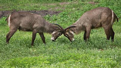 Photograph - Waterbuck Bulls by Mareko Marciniak
