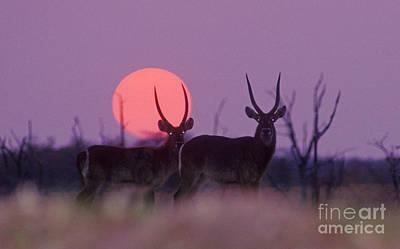 Photograph - Waterbuck Sunset - Zimbabwe by Craig Lovell