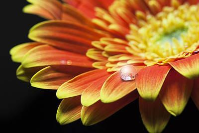 Photograph - Waterdrop On The Petal Of A Orange Gerbera Daisy With Lens Flare by Zoe Ferrie