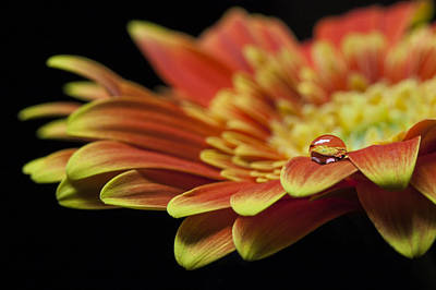 Photograph - Waterdrop On The Petal Of A Orange Gerbera Daisy by Zoe Ferrie