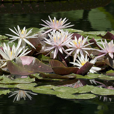 Duke Gardens Photograph - Waterlilies In A Square Format by Bill Swindaman