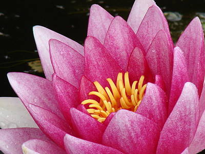 Photograph - Waterlily Close-up by Nicola Butt