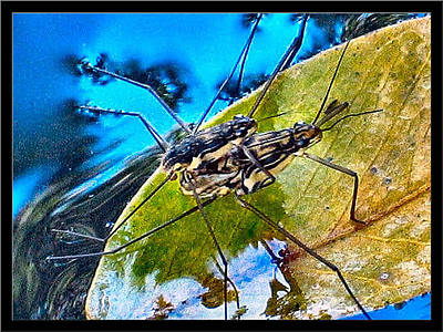 Photograph - Waterstriders1 by Glenn Bautista