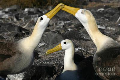 Mating Dance Photograph - Waved Albatross Mating Ritual by Matt Tilghman