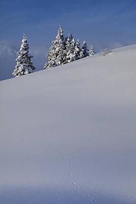 Weasel Tracks In The Snow Art Print by Tim Grams