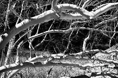 Photograph - Web Of Branches by John Rizzuto