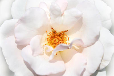 Wedding White Rose Art Print