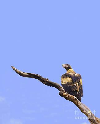 Wedgetail Eagle Art Print by Johan Larson