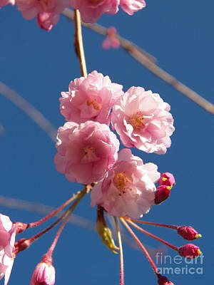 Photograph - Weeping Cherry Blossoms by Judy Via-Wolff
