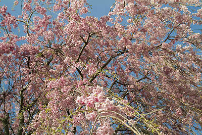 Close Focus Nature Scene Photograph - Weeping Cherry Tree In Bloom by Todd Gipstein