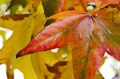 Photograph - Weeping Red Leaf by Jim And Emily Bush