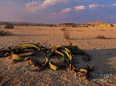 Long-lived Photograph - Welwitschia Mirabilis by Bob Gibbons