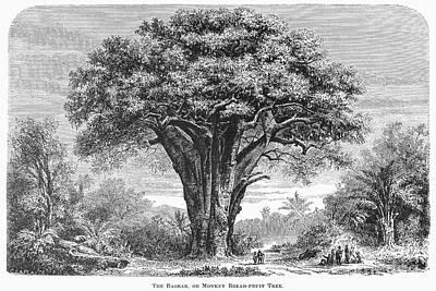 Baobab Photograph - West Africa: Baobab Tree by Granger