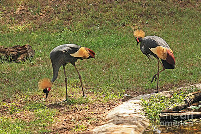 Photograph - West African Crowned Cranes by Terri Mills