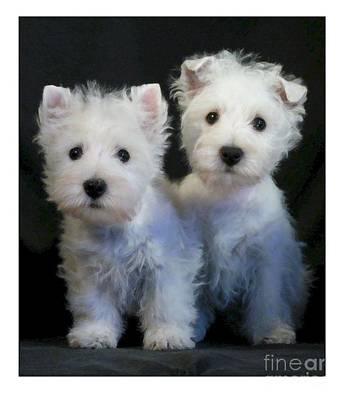 Westie Puppy Digital Art - West Highland Terrier 150 by Larry Matthews