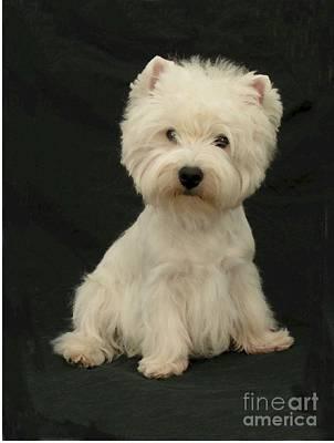 Westie Digital Art - West Highland Terrier 460 by Larry Matthews