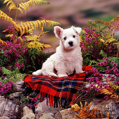 Animal Portraiture Photograph - West Highland Terrier by Jane Burton