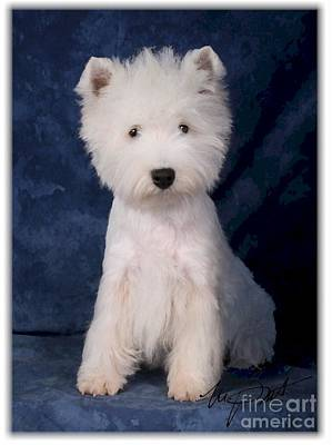 West Highland White Terrier Pup Art Print by Maxine Bochnia