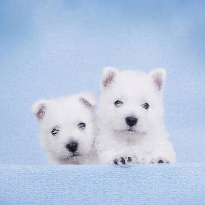 West Highland White Terrier Puppies Art Print by Waldek Dabrowski