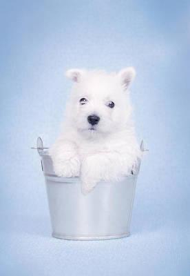 Maltese Photograph - West Highland White Terrier Puppy In The Bucket  by Waldek Dabrowski