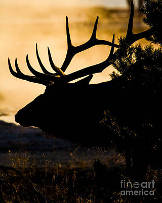 Photograph - West Thumb Wapiti Dawn 5 by Katie LaSalle-Lowery