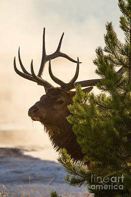 Photograph - West Thumb Wapiti Dawn 6 by Katie LaSalle-Lowery