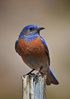 Print featuring the photograph Western Bluebird by Britt Runyon