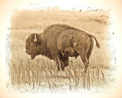 Photograph - Western Buffalo by Steve McKinzie
