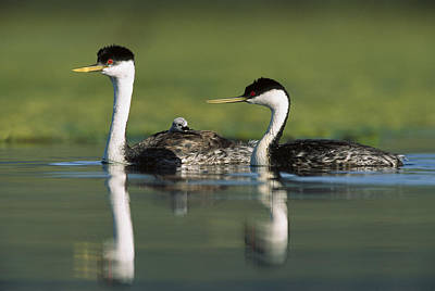 Three Chicks Photograph - Western Grebe Couple With One Parent by Tim Fitzharris