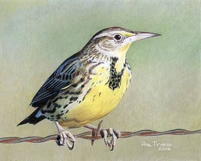 Print featuring the drawing Western Meadowlark by Ana Tirolese