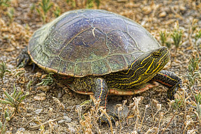 Painted Turtle Wall Art - Photograph - Western Painted Turtle by James BO Insogna