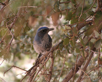 Photograph - Western Scrub Jay by Chris Hill