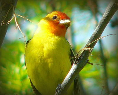 Western Tanager Art Print by Carol Norman