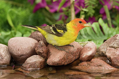 Western Tanager Photograph - Western Tanager Piranga Ludoviciana by Tom Vezo