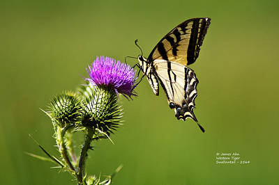 Western Tiger Swallowtail - Milkweed Thistle 2564 Art Print by James Ahn