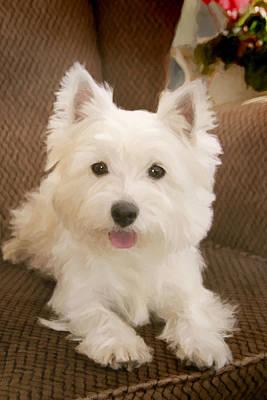 Westie Puppy Digital Art - Westie In Armchair by Martin  Fry