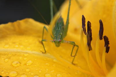 Photograph - Wet Katydid by Lawrence Scott