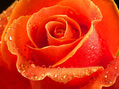 Wet Rose Art Print by Jean Noren