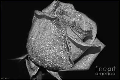 Photograph - Wet White Rose by Debbie Portwood