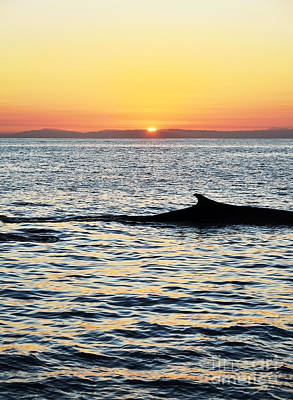 Whale At Sunset Art Print by Timothy OLeary