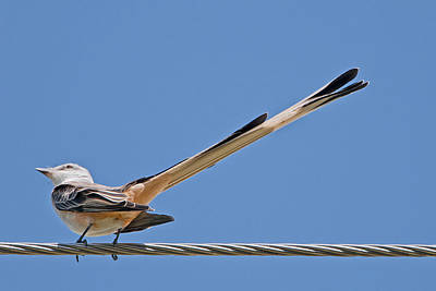 Flycatcher Photograph - What A Long Tail You Have by Bonnie Barry