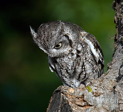 Eastern Screech Owl Photograph - What? by Lisa Holmgreen