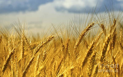 Photograph - Wheat Background by Gualtiero Boffi