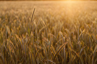 Close Focus Nature Scene Photograph - Wheat Field During Sunrise by Bjorn Holland