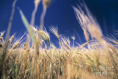 Close Focus Nature Scene Photograph - Wheat Field by Juan  Silva