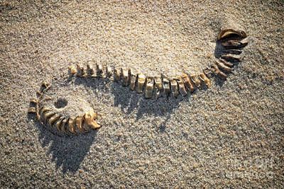 Of Mermaid Photograph - Whelk Egg Case by Susan Isakson