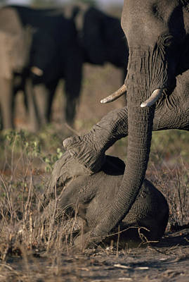 Wildlife Disasters Photograph - When Drought Killed A Three-month-old by Des &Amp Jen Bartlett