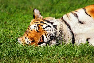 When Tigers Dream Art Print