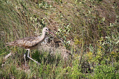 Photograph - Whimbrel By The Canal by Roena King